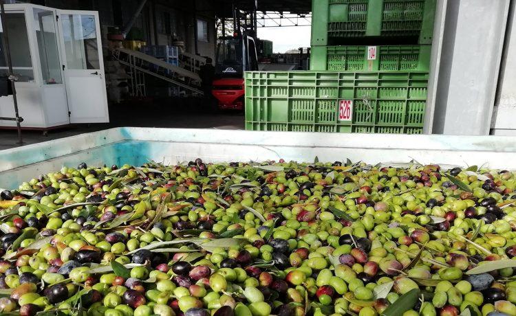 Lavorazione olive fase 1
