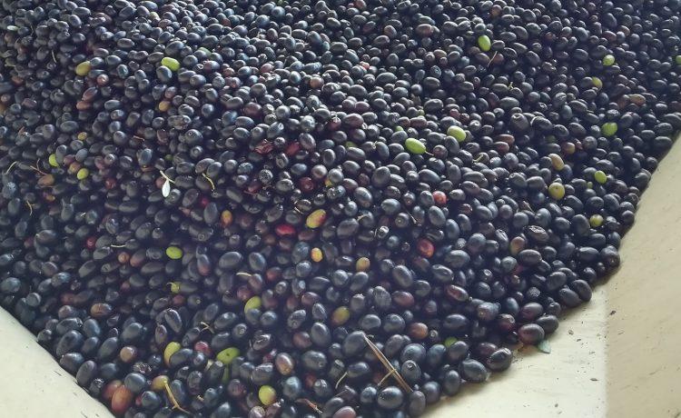 Lavorazione olive fase 2