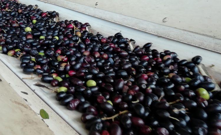 Lavorazione olive fase 3