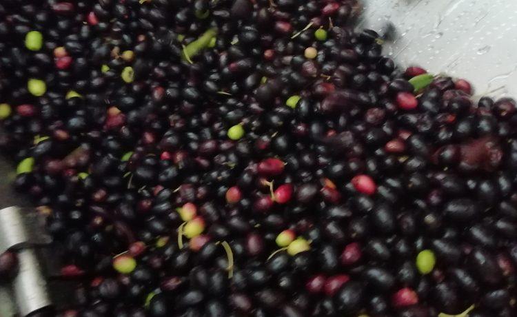Lavorazione olive fase 4