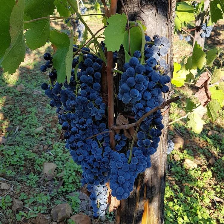 Lavorazione delle uve aglianico